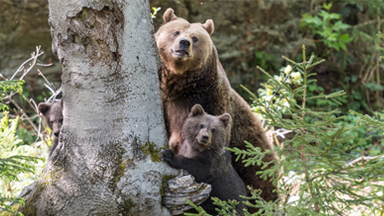 Boisterous Bears: Young cubs explore their new forest home