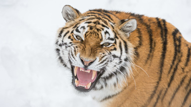 Cat Fight: Siberian tigers trade blows in love spat over mate