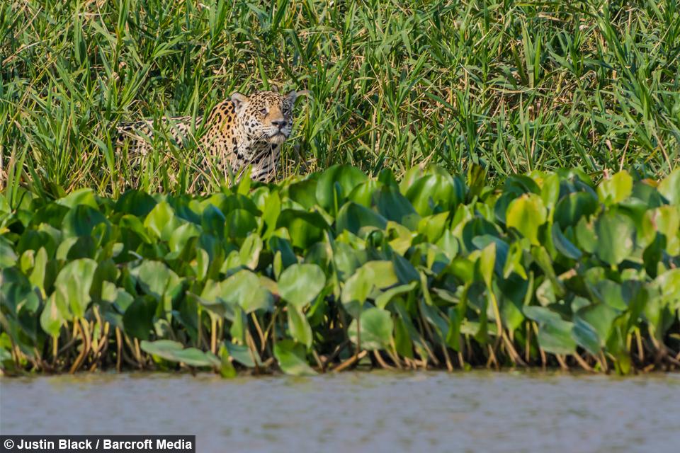 Jaguar Ambushes Croc