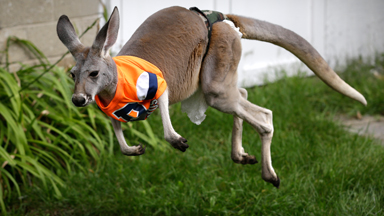 Hop To It! Kangaroo Jimmy Comforts Owner Through Cancer Treatment