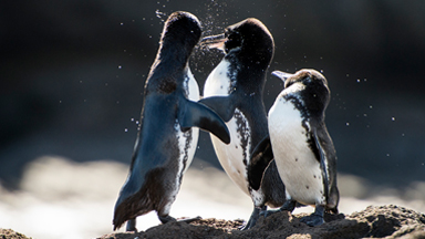 Little Penguins Ruffle Each Others' Feathers Over Female