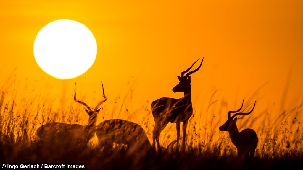 Sunrise silhouettes impalas greet the morning in the savanna m4hsunfo
