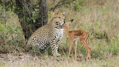 The Hunter and The Hunted: Leopard 'Befriends' Baby Impala