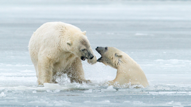 Breaking The Ice: Playful Polar Bears Clash In The Arctic