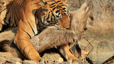 Fast food: Tiger kills deer whilst in mid-air
