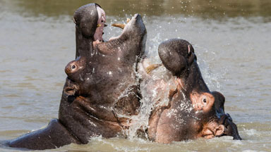 Happy Happy Hippos: Young Animals Make A Splash