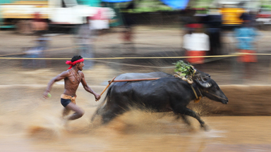 Raging bulls: Farmers compete in traditional bull races