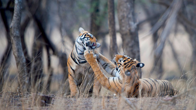 Enough is Enough: Annoyed Mother Tiger Gives Her Cub A Scolding