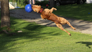'Super' Pit Bull: Training the Ultimate Protection Dog