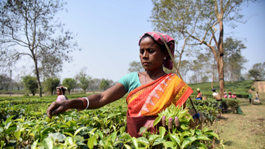 The Hardworking Female Tea-Pickers Of Assam