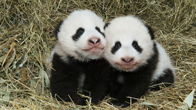 Vienna Zoo Welcomes Adorable Twin Baby Giant Pandas