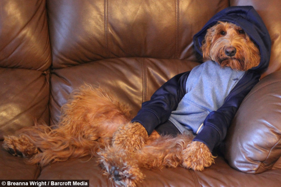 Doggy Style: Oliver the Goldendoodle Loves To Wear Human ...