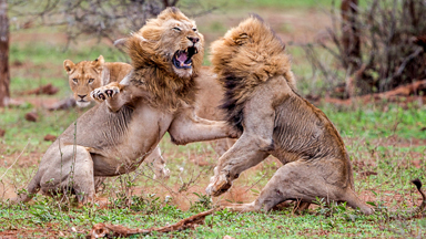 Male Lions Trade Blows in violent battle