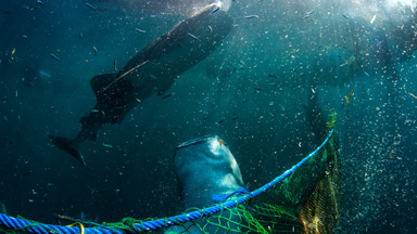 Whale Shark Rescue: Endangered species saved from a marine farm