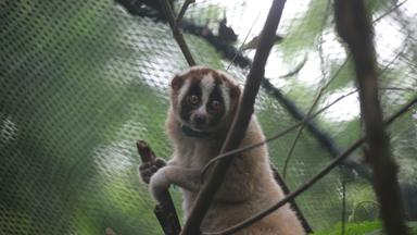 Record Number Of Slow Lorises Returned To Wild