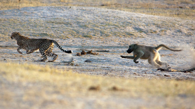 Fraidy Cat: Baboon Gives Chase To Frightened Cheetah