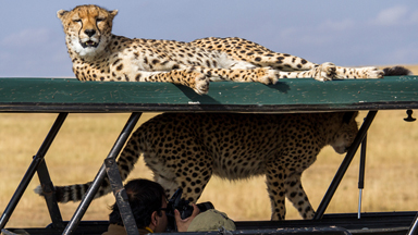 Cheetah-ing The Traffic! FIVE Big Cats Leap Onto Jeep