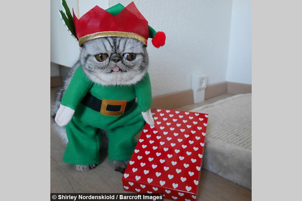 The Grinch Herman looks grump in his elf outfit. & Santau0027s little helper: Herman The Scaredy Catu0027s first Christmas