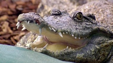 Croc Man - Ep.3
