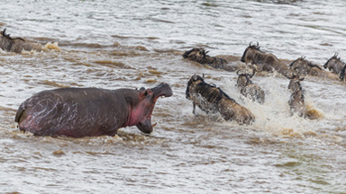 Furious Hippo Charges Migrating Wildebeest Crossing Into Its Territory