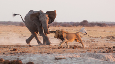 Not On Your Nelly: Male Lion Protects Pride From Bullish Young Elephant