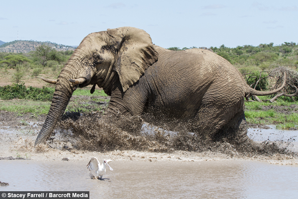 Assez Muddy brilliant: Elephant splashes in water for the first time in  FE48