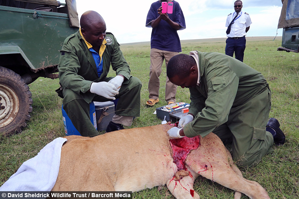Lioness Gored by Buffalo
