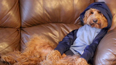 Doggy Style: Oliver the Goldendoodle Loves To Wear Human Clothes