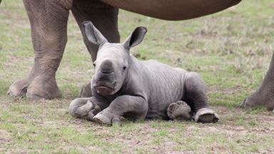 Ringo The Rhino Star: Cute Calf Makes Amazing Recovery