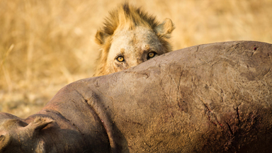 Mane Course: Hungry Lions Feast On A Hippo