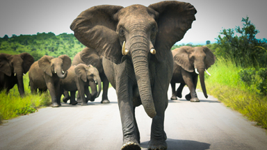 Tourist Captures The Terrifying Moment Angry Elephant Herd Mock Charges At His Vehicle