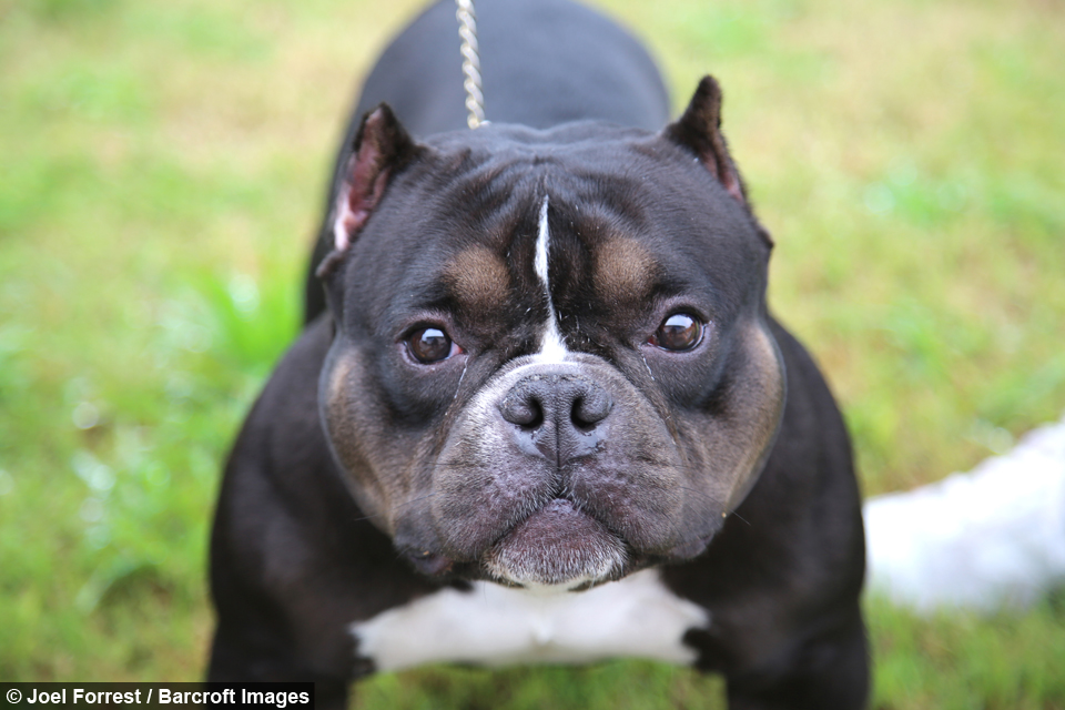 Pocket Pitbull: The $75,000 'Micro Bully' Queen Califia