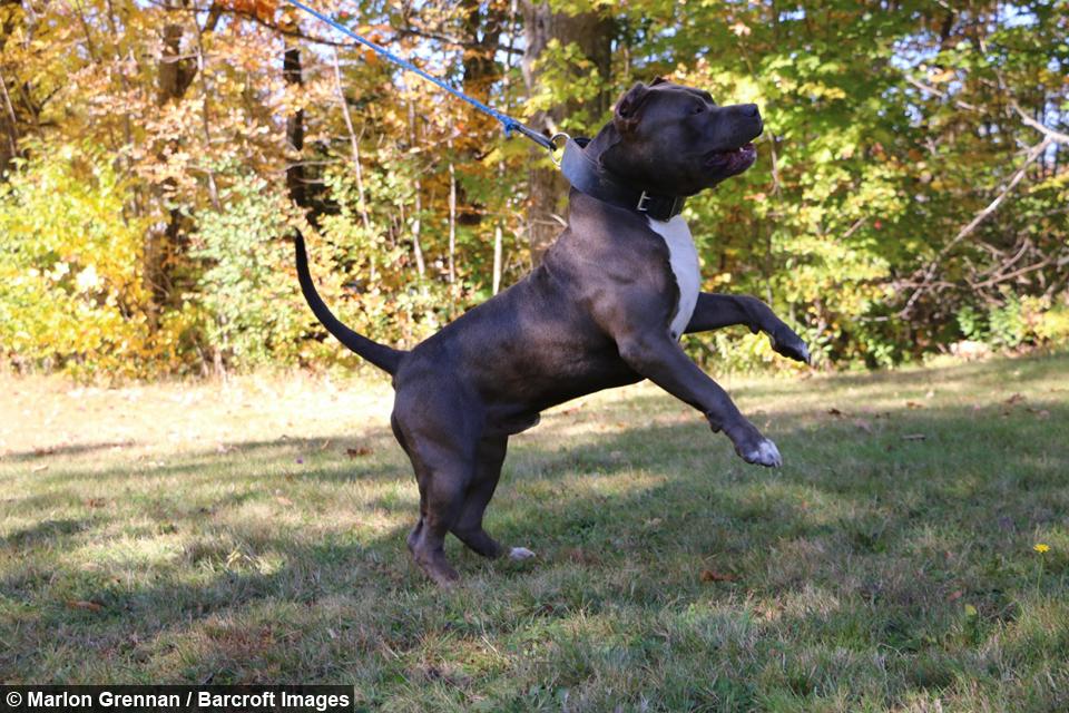 dog dynasty hulk s son kobe is set to be the next big pit bull star