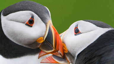 Huffin and Puffin: Mischievous Birds Photographed On Skomer Island