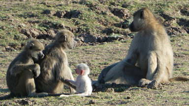 Pure white baby baboon stands out from the crowd
