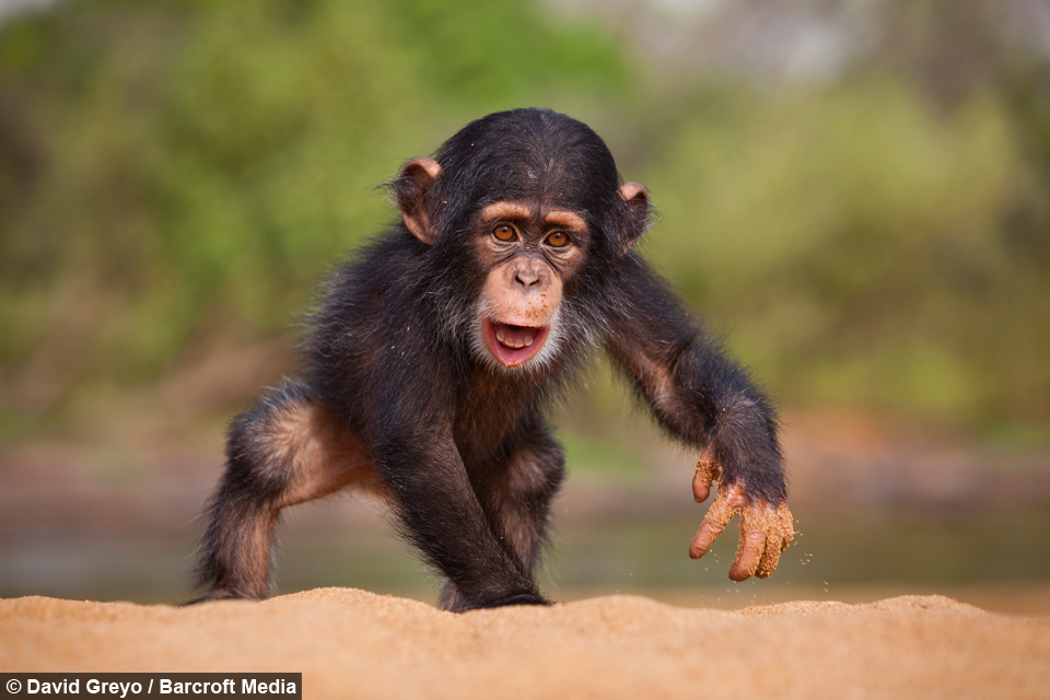 Going Ape: Cute Chimps Get Up To Mischief In Guinea