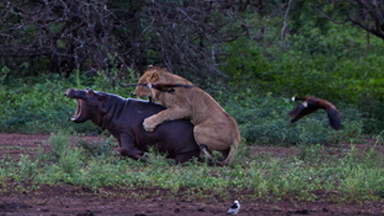 Paws for Thought: Hippo Turns Tables on Lion