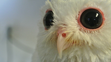 Born Different: Luna the albino screech owl