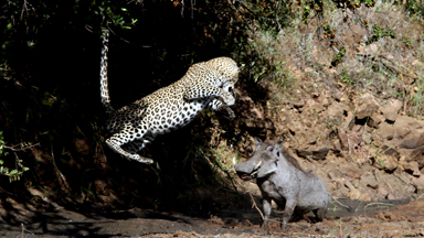 What's Up Pussycat? Leopard Leaps In Air While Hunting A Warthog
