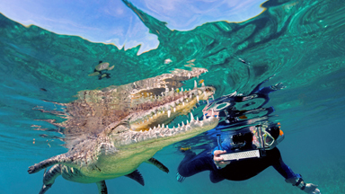 Crocs's Eye View: Tourists Swim and Snap with 8ft American Crocodiles