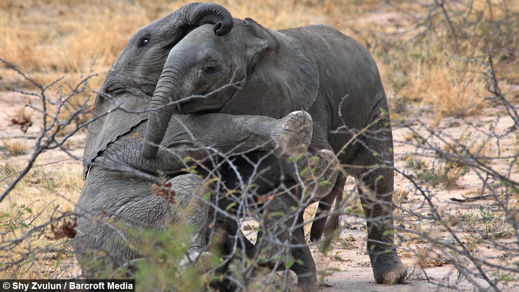 let s get ready to rumble cute baby elephants play fight in tanzania