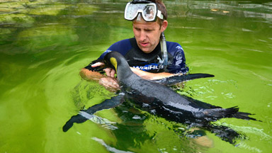 Water Wings: Snorkelling Animal Handler Teaches Penguin to Swim