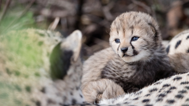 Get a glimpse of a mother's precious litter of cheetah cubs