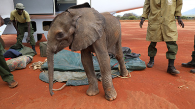 Orphan Elephant Calf Survives Predator Attack