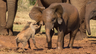 Not On My Turf! Warthog Scares Baby Elephant Away From Watering Hole