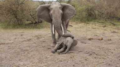 Heartbreaking: Mother Elephant Tries To Rouse Unconscious Calf