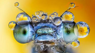 Dewy-eyed Damselflies