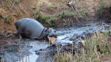 Bathing Hippo 'Saves' Antelope From Wild Dog Pack