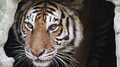 Rescued Tiger Undergoes Dramatic Surgery To Remove 20lb Infection