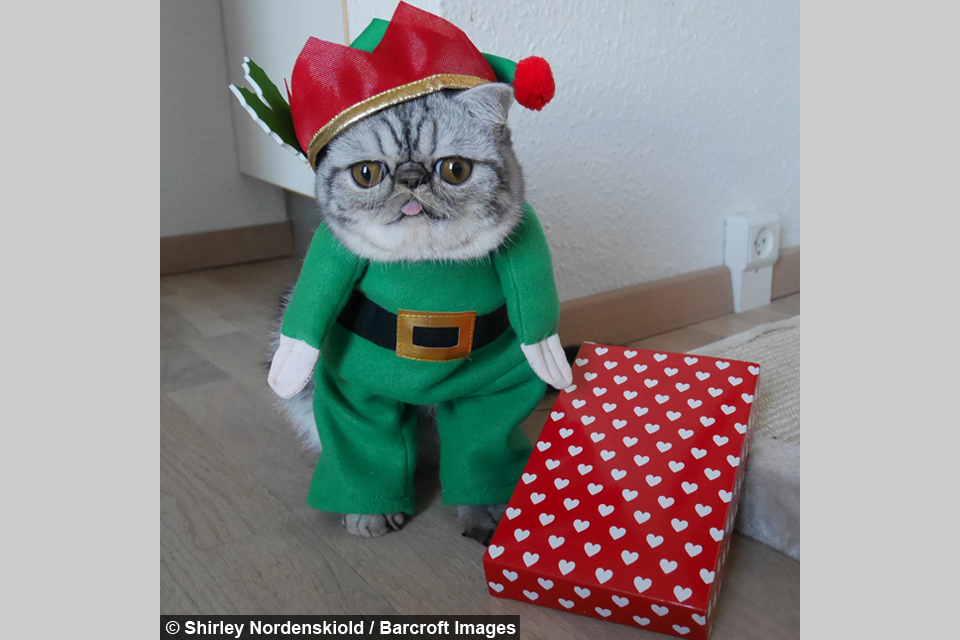 The Grinch Herman looks grump in his elf outfit.  sc 1 st  Barcroft Animals - Barcroft TV & Santau0027s little helper: Herman The Scaredy Catu0027s first Christmas